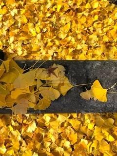 石塀の上の銀杏の落ち葉の写真・画像素材[1677393]