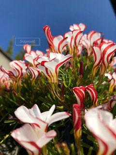 青い空と赤と白の花の写真・画像素材[1738912]