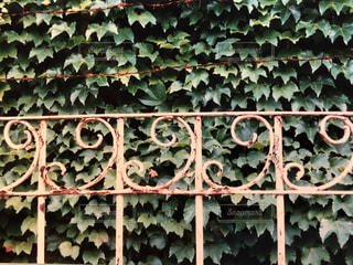 一面の蔦で覆われた壁と昭和モダンなフェンスの写真・画像素材[1623377]