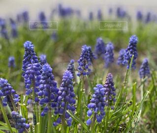 鮮やかな紫のムスカリの群生の写真・画像素材[4549705]