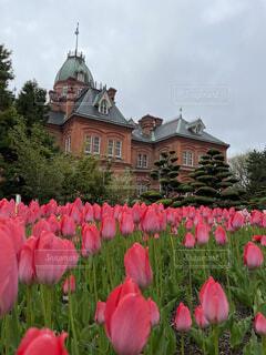 旧北海道庁舎とピンクのチューリップの写真・画像素材[4549710]