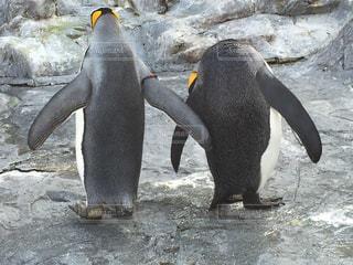 雪の中のペンギンの写真・画像素材[1242276]