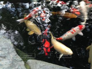 錦鯉の写真・画像素材[1237249]