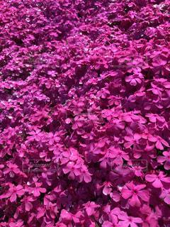 芝桜の写真・画像素材[1237465]
