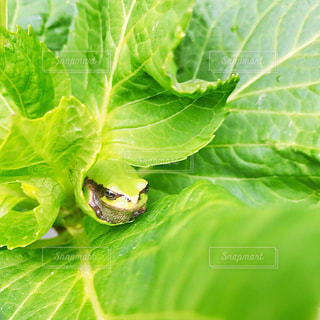 葉っぱに隠れたカエルの写真・画像素材[1239586]