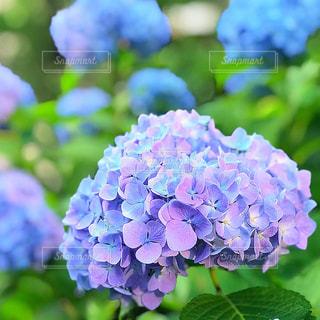 紫陽花 - No.1239587