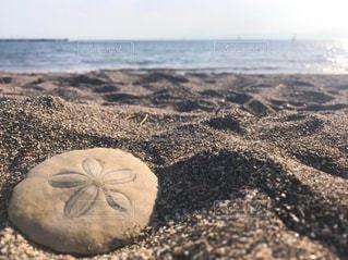 人魚の通貨/Sand Dollarの写真・画像素材[1240056]