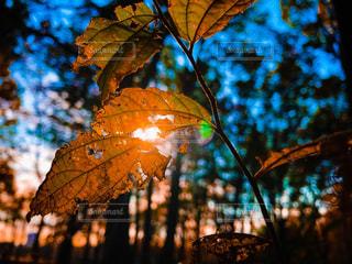枯れゆく葉もまた美しいの写真・画像素材[1610930]