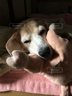 ベッドに横たわる犬の写真・画像素材[2407500]
