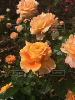ばらの花の写真・画像素材[1242430]