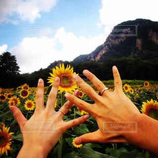 ひまわりと指輪の写真・画像素材[1240971]