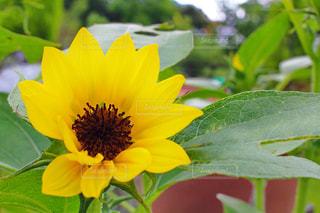 緑の葉と黄色の花の写真・画像素材[1291712]
