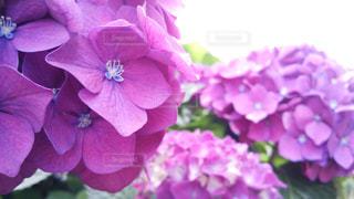 庭先のあじさいの写真・画像素材[1257880]
