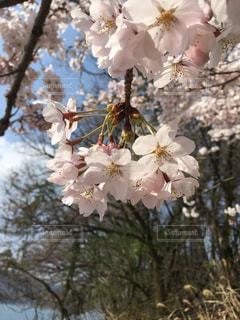 木の花の花瓶の写真・画像素材[1242410]