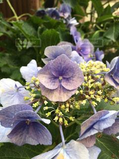 植物の紫色の花の写真・画像素材[1272309]
