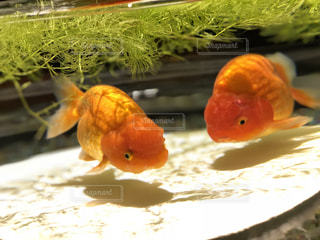 オレンジ色の金魚の写真・画像素材[1243067]