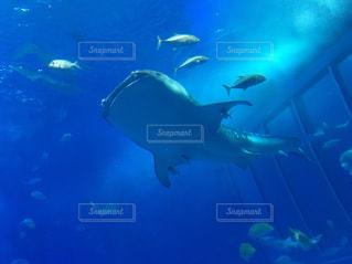 下からのジンベイザメの写真・画像素材[1457409]