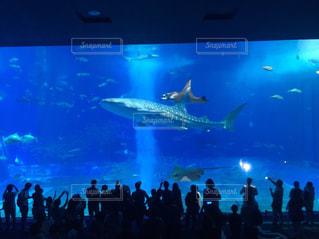 美ら海水族館のジンベイザメの写真・画像素材[1457410]