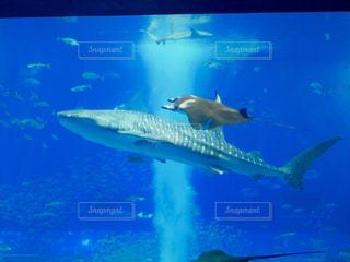美ら海水族館のジンベイザメとマンタの写真・画像素材[1457450]