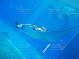 美ら海水族館のマンタの写真・画像素材[1457451]
