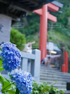紫陽花と鳥居の写真・画像素材[1480535]