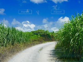 さとうきび畑の写真・画像素材[1480710]