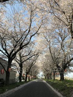 桜並木の写真・画像素材[1248485]