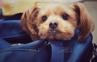 着ぐるみを着た犬の写真・画像素材[1243773]