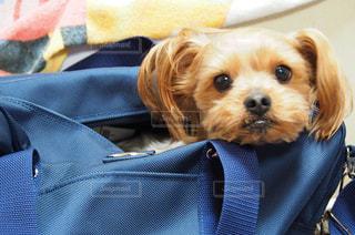 茶色の小さな犬の衣装を着ての写真・画像素材[1243774]