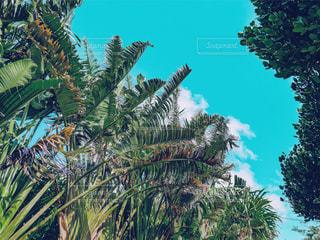 ヤシの木を見上げるの写真・画像素材[1244993]
