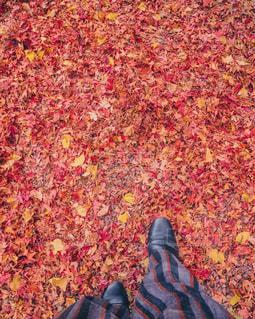 紅葉のじゅうたんを歩くの写真・画像素材[1245079]