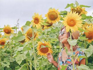ひまわり畑の写真・画像素材[1245097]