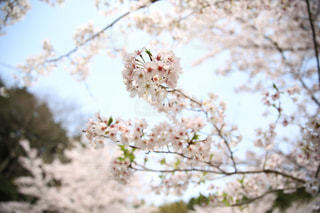 桜の写真・画像素材[1245646]