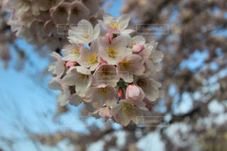 桜の写真・画像素材[1245647]