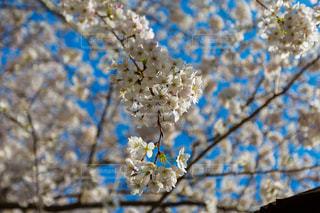 桜の写真・画像素材[1245651]