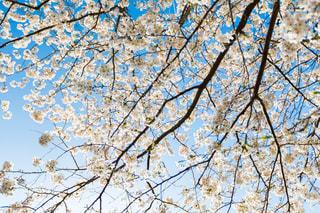 桜の写真・画像素材[1245652]