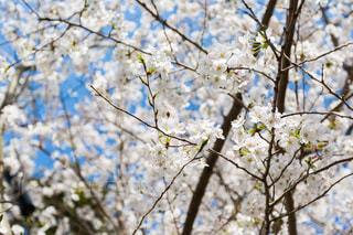 桜の写真・画像素材[1245653]