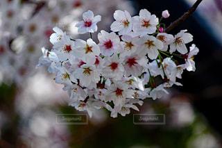 桜の写真・画像素材[1252404]