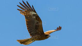 空を飛んでいる鳶の写真・画像素材[1259312]