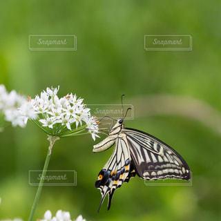 蜜を吸う蝶の写真・画像素材[1446615]