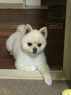 小さな白い犬の写真・画像素材[1246243]