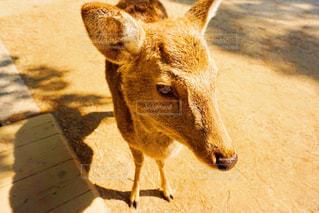 奈良公園にて鹿ちゃんの写真・画像素材[1250001]