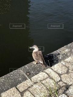 川沿いで休んでいるカモの写真・画像素材[2724737]