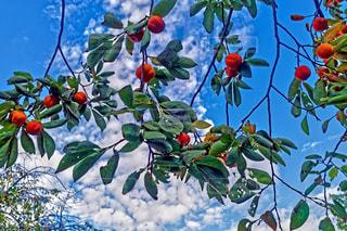 曇りと柿の木の写真・画像素材[1718881]