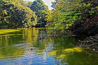 新宿御苑の水鳥の写真・画像素材[1719977]