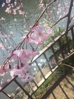 城の堀に桜の枝の写真・画像素材[1248227]
