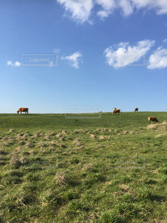 牧場の牛の写真・画像素材[1255497]