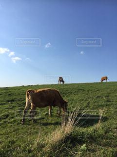 新緑の牧場の写真・画像素材[1255498]