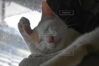 顔を洗う猫の写真・画像素材[1265357]