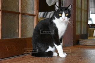 こちらを見つめる黒白猫の写真・画像素材[1265359]